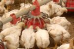 Top 5 Reasons for Poor Broiler Growth and Solutions