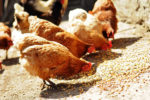 The Nutritional Requirements of Chick, Pullet & Layer