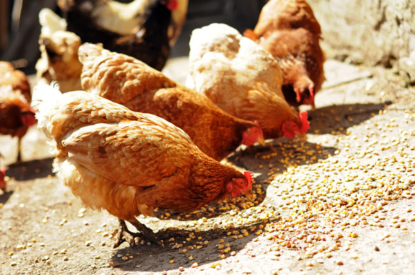 Nutritional Requirements of Chicks, Pullets & Layers