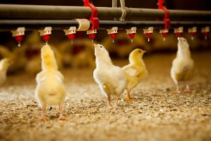 Water Consumption Rates/Levels for Layers & Broilers