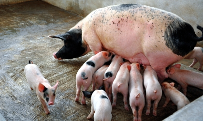 Sample Feed Formulae for Pigs