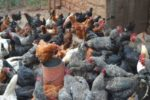 Feed Formulae for Improved Kienyeji Chickens (Layer, Growers and Chick Mash)