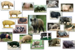 List of Various Breeds of Pig/Swine