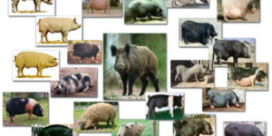 The Breeds of Pigs