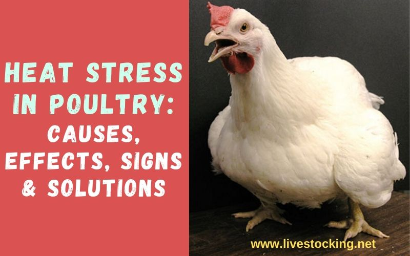 Heat Stress in Poultry: Causes, Effects, Signs & Solutions