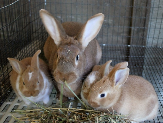 Sample Feed Formula for Rabbits