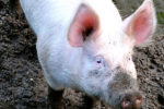 Large White Pig: Facts & Characteristics