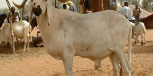 The Local and Exotic Breeds of Sheep