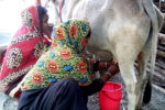 Recommended Nigerian Cattle Breeds for Smallholder Dairy (Milk) Production
