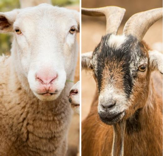 Sample Feed Formulae for Goats and Sheep