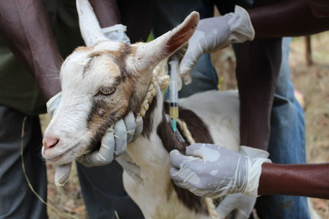 Vaccination Programme / Schedule for Goat, Sheep & Cattle