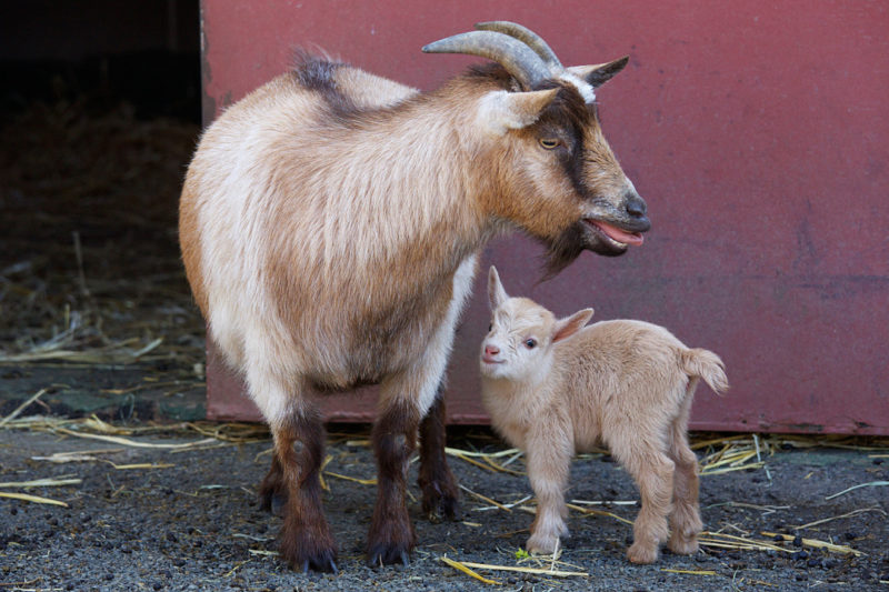 Pygmy Goat: Brief History and Characteristics