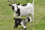 4 Important Tips on Raising Pygmy Goats