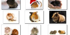 A Quick Guide to the Different Types of Guinea Pigs
