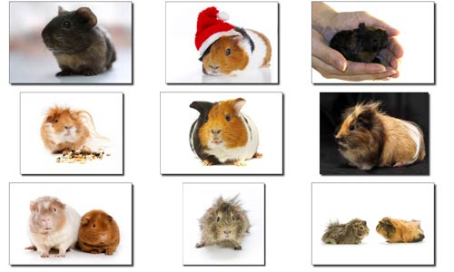 A Complete Guide to Guinea Pig Breeds