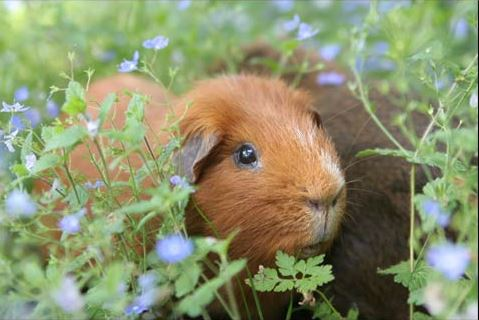 Useful Tips on Guinea Pig Names