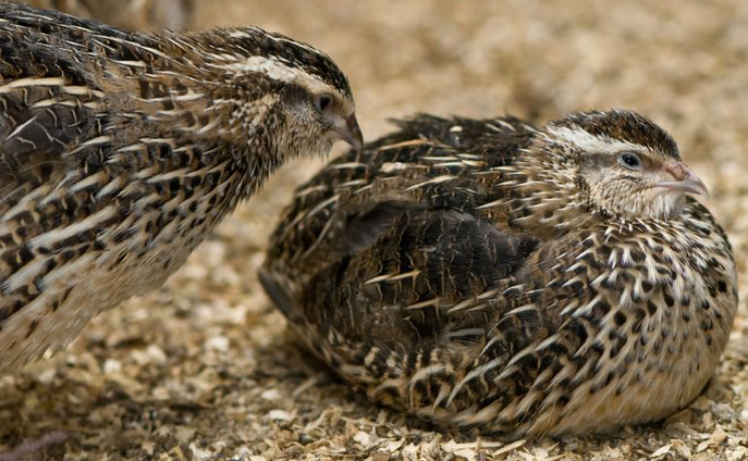 Some Common Breeds of Quail
