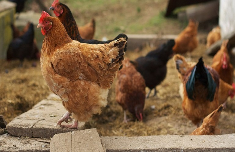 How to Raise Backyard Chickens Successfully
