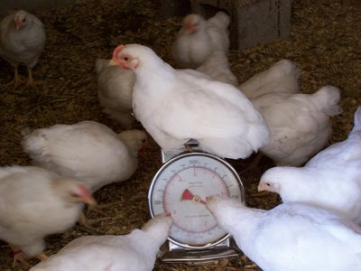 How to Weigh Live Poultry Birds Accurately