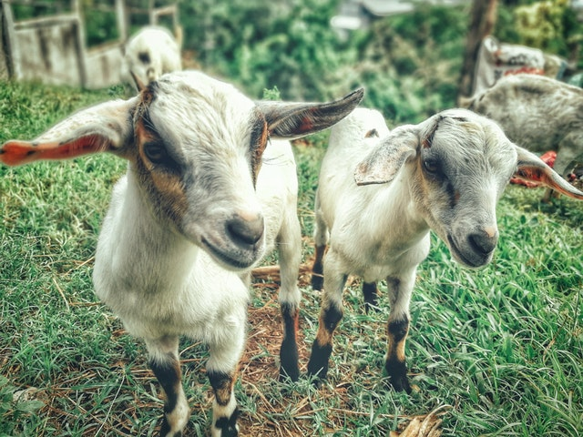 4 Major Types of Goat – Their Characteristics and Breeding Purpose
