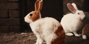 Best Rabbit Breeds and Facts About Rabbit Reproduction