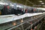 Special Feed Formula for Optimal Chicks, Growers & Layers Performance