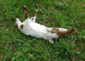 Fainted Myotonic Goats