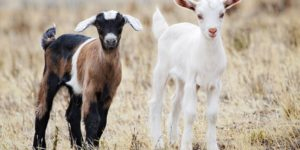 The Fainting Goat – All Breed Information