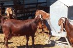 Damascus Goat Breed Information