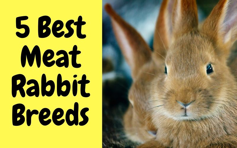 5 Best Meat Rabbit Breeds for Meat Production