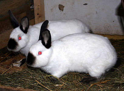 4 Best Meat Rabbit Breeds