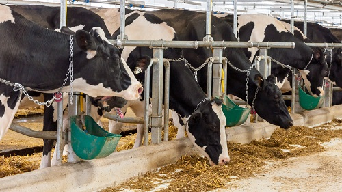 Feed Formulas for Dairy Animals