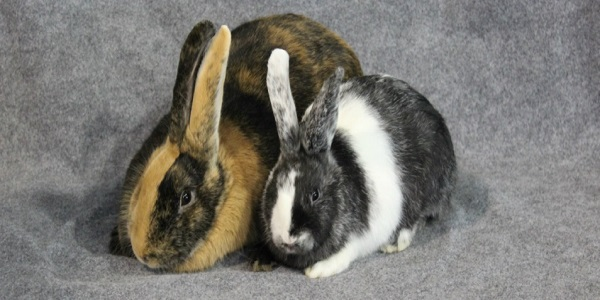 Harlequin Rabbit Breed – Everything You Should Know