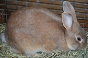 Palomino Rabbit breed
