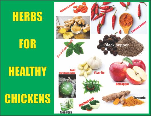 Herbs for Healthy Chickens