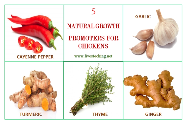5 Common Natural Growth Promoters for Chickens