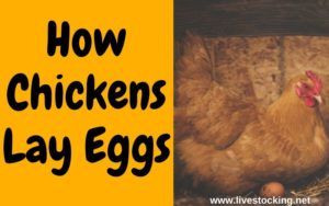How Chickens Lay Eggs