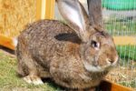 Flemish Giant Rabbit – All Breed Information