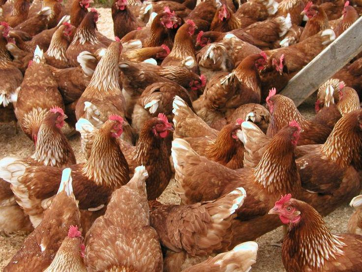 Point of Lay Chickens