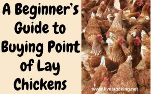 guide to buying point of lay chickens