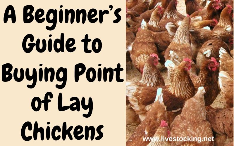 A Beginner's Guide to Buying Point of Lay Chickens