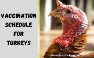 Vaccination Schedule for Turkeys