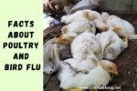 7 Facts About Poultry and Bird Flu
