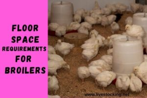 Floor Space Requirements for Broilers