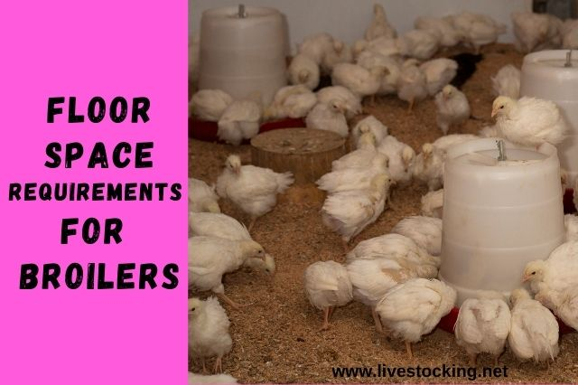 Floor Space Requirements for Broilers + Calculator