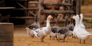 A Beginner's Guide to Geese Farming + Free eBook