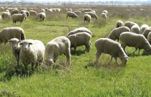 Sheep Farming Guide