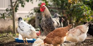 How to Deworm Chickens Naturally + Prevention Tips