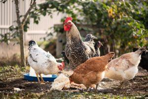 Natural Chicken Dewormer