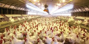 The Nutritional Requirements of Broiler Breeders (Parent Stock)